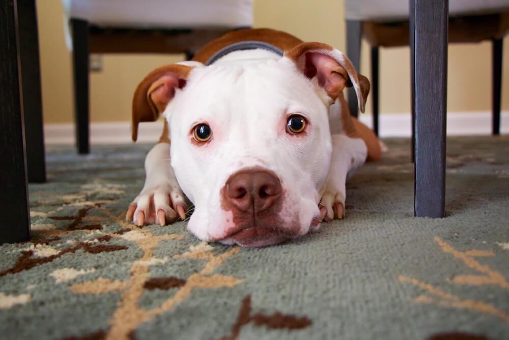 cleaning dog poop on carpet