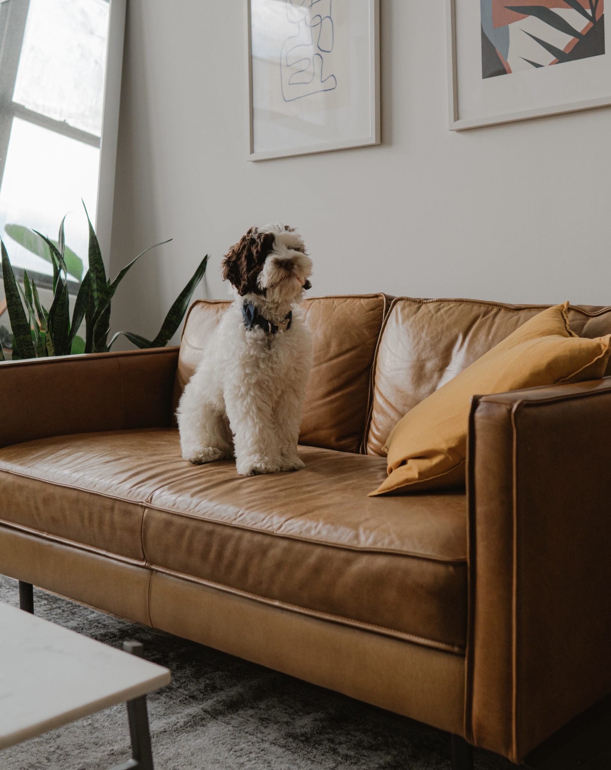 dog sitting on leather couch in san fernando